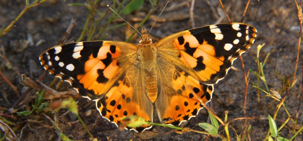 Closeup picture of a large orange butterfly