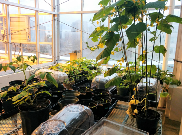 Inside a greenhouse filled with vegetable and lettuce plants