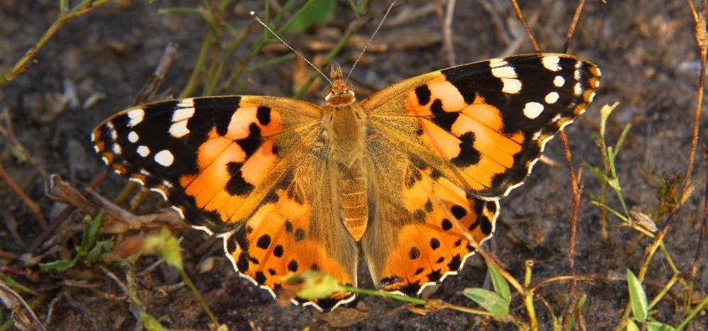 Image rapprochée d'un papillon orange